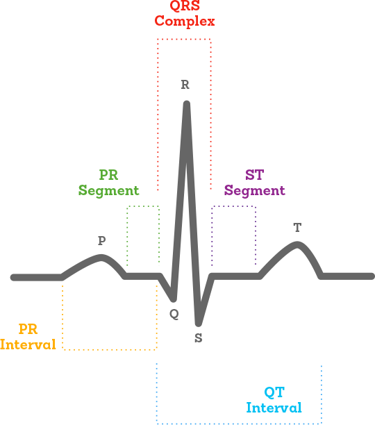 what is an ecg? QRS Complex Anatomy